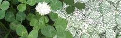 白詰草描き込み過程 2